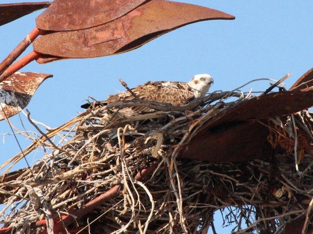 new osprey.jpg