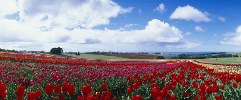 T0032+Tulips+at+Table+Cape[1].jpg