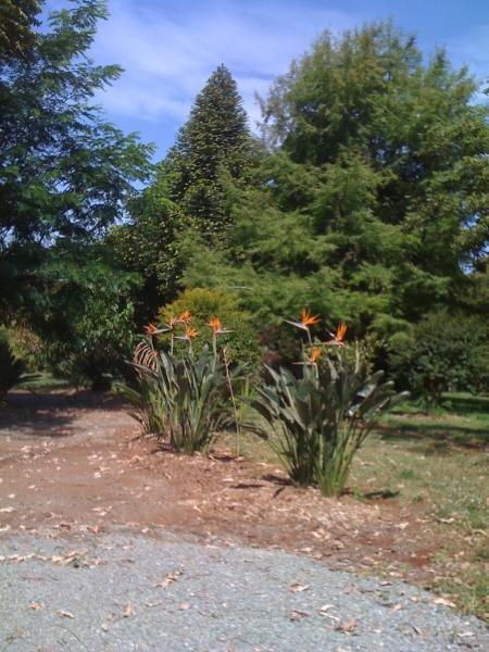 Gardens at Tamborine Mountain Distillery - my favourite birds of paradise :o)