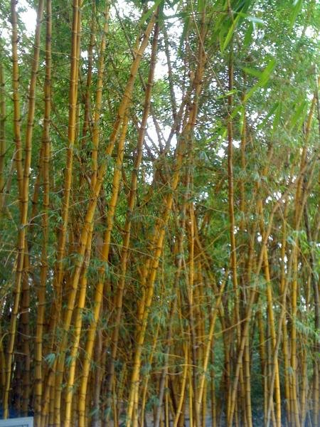 Bamboo! At Mt Coot-tha botanical gardens