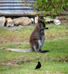 Wallaby & Blackbird - although I'm sure you'll find they sing with an Aussie accent (at least!)