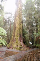 Just about the tallest flowering tree in the world