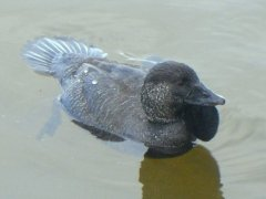 musk duck1