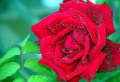 Our Red Rose, from our garden