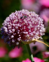 SUMMER'14 Wasp on the garlic