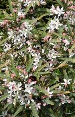 Oleander Spring '13