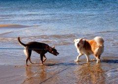 Kelpie's 1st Visit to the Beach