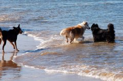 Our cCollie makes a new friend @ Belerive Beach - Kelpie's 1st visit... Aug 2012
