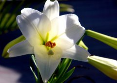 One of our lilies