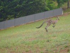 Kangaroos up in Bright, VIC