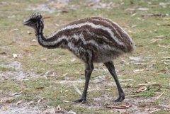 emu baby