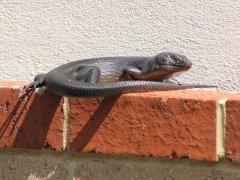 Lizard in garden