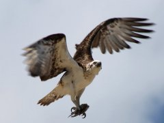 osprey fishing