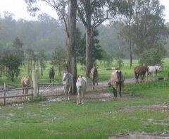 Rainy days & Mondays, Queensland style - Day off for the horses.....
