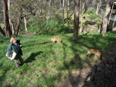 Adelaide, Cleland Wildlife Park - Dingo's