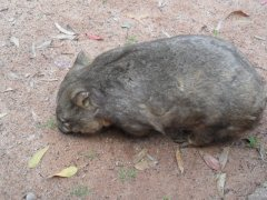 Adelaide, Cleland Wildlife Park - Possum