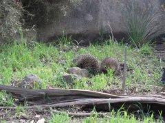 Adelaide, Cleland Wildlife Park - Echidna