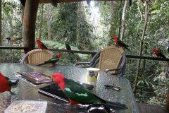 Feeding Australian Parrot's