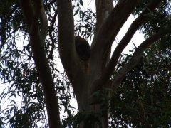 koarla kangaroo island