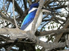 Forest Kingfisher nr Chillagoe