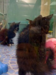 Kittens in the petshop! I'm not used to this sighht - cuteness!