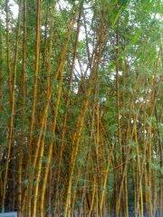 Bamboo! At Mt Coot-tha botanical gardens