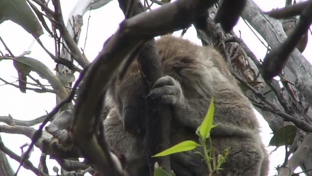 Koala (17).JPG