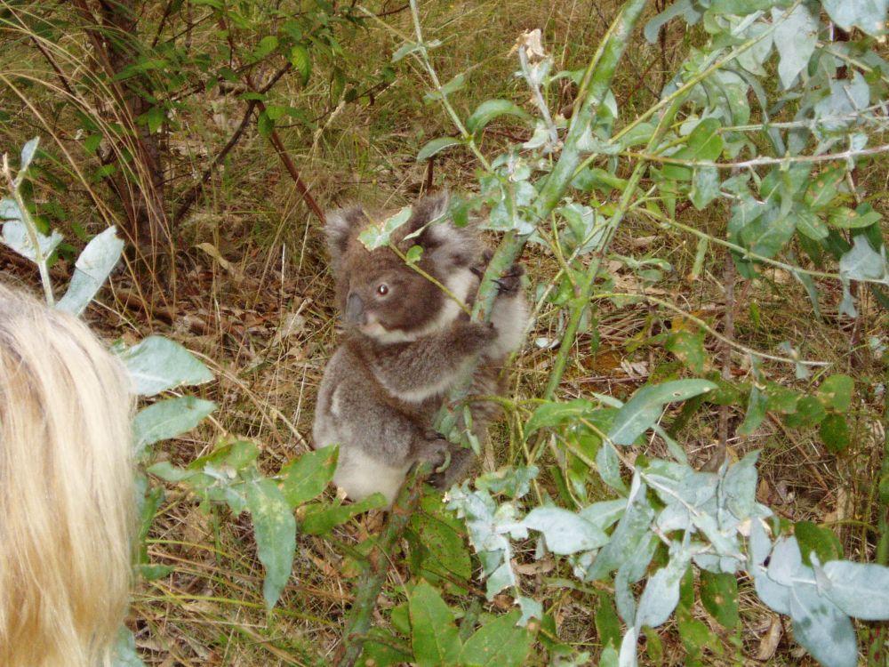Koala (24).JPG