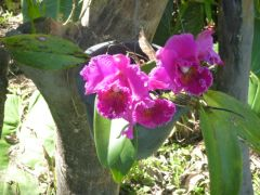 Cattleya orchids, just opened.