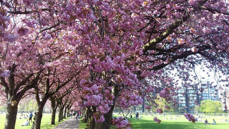 cherry blossom edinburgh.jpg