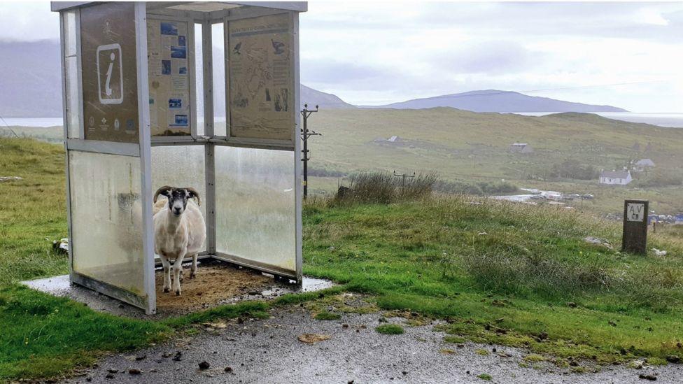 sheltering sheep.jpg